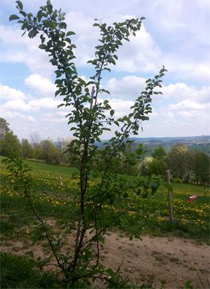 Wildapfel Baumschule Meile