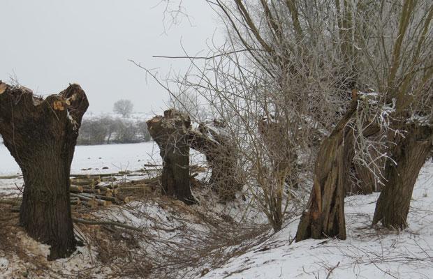 Kopfweidenpflege im Winter an der Alten Döllnitz