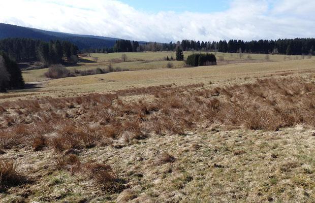 Vernässte Fläche in Schönheide als Braunkehlchenhabitat